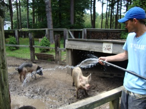 Will giving the pigs a bath